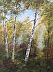 Birch Woods by Cynthia Howard