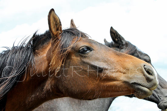 "Yearling Filly by Juliet Harrison Digital print ~ 11"" x 17"""