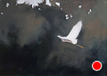 233 - flying egret by Adele Earnshaw  ~ 5 x 7