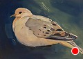 237 - Mourning Dove by Adele Earnshaw Oil ~ 5 x 7