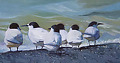 White-fronted Terns on the Kaipara 72 dpi by Adele Earnshaw Oil ~  x