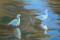 American Egrets in search of Breakfest by dan vaughan Pastel ~ 24 x 30