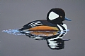 Hooded Merganser by dan vaughan Pastel ~ 18 x 24