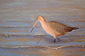 Marbled Godwit by dan vaughan  ~ 14 x 18
