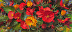 Begonia and Portulaca by Steven Hileman