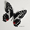 Papilio demodocus-Citrus Butterfly
