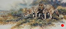 Footloose, coyote pair by Joe Garcia Watercolor ~ 12 x 29