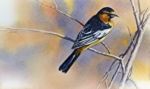 Bullock's Oriole by Joe Garcia Watercolor ~ 6 x 10