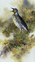 Western Meadowlark by Joe Garcia Watercolor ~ 10 x 6