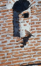 Dove at Tumacacori by Joe Garcia Watercolor ~  x