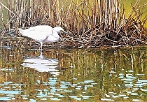 Wet Toes--snowy egret by Joe Garcia Oil ~ 15.5 x 21.5