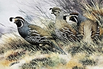 California Upland Game Bird, 1st of State Stamp/Print by Joe Garcia Watercolor ~ 6 x 9