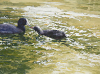 TLC, American Coots by Joe Garcia Oil ~  x