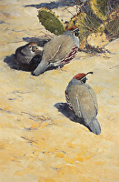 Sun Seekers, Gambel's Quail by Joe Garcia Oil ~ 21 x 14