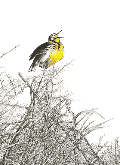 Western Meadowlark - Graphite and Colored Pencil