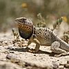 Reticulated Collard Lizard