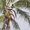 Coconut palm study