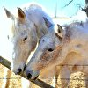 Chuck's Horses