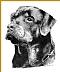 """Rottweiler by Carole Raschella Graphite ~ 14"""" x 11"""""""