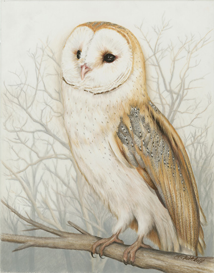 Coosa River Barn Owl - Colored Pencil