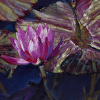 Water Lily, #27