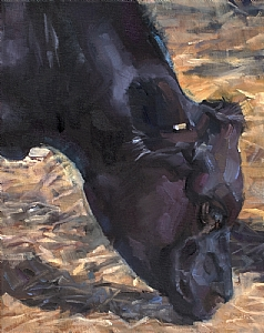 Black Angus: Paicenes Black by Daria Shachmut Oil ~ 20 x 16