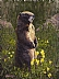 Marmot Sentry by Curt Gillespie
