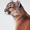 Puma, Colored Pencil