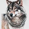Wolf Portrait Colored Pencil