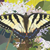 Brief Encounter - The Eastern Tiger Swallowtail