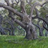 Oak Tree Tales