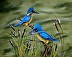 kingfishers by dale york