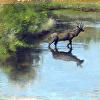 Wichita Elk