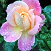 Precious, pink rose and raindrops from Anna's Gardens