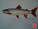 """Arctic Char by Ruth Meaders Watercolor ~ 8"""" x 15"""""""