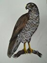 hawk,afternoon angler, by Ruth Meaders Acrylic ~ 16 x 12