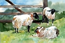 Sheep by  Portola  Art Gallery Watercolor ~ 9 x 12