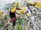 Costa Rican Toucan by  Portola  Art Gallery Watercolor ~ 18 x 22