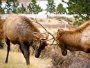 Sparring_Elk by Lisa Manners  ~  x