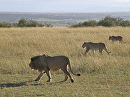 Lions in the Mara by Lisa Manners  ~  x