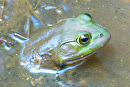 Huntley Meadows Bull Frog by Lisa Manners  ~  x