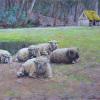 Sheep at Cuttalossa