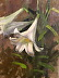 Easter Lily by Roberta Goschke