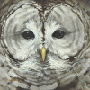 Who Cooks For You-Barred Owl Portrait