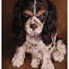 """Penny"" a King Charles Spaniel"
