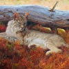 Autumn Reds - bobcat