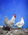 Rooster and Girls by Gallery Sur Photography of Big Sur, Carmel, Pebble Beach Photograph ~  x