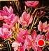 """La Danse des Trois Fleurs-Crocus by Nancy O'Toole Acrylic ~ 8"""" x 8"""""""
