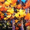 "A TOUCH OF FALL by Nancy O'Toole Acrylic ~ 8"" x 10"""
