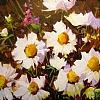 "DAISIES by Nancy O'Toole Acrylic ~ 8"" x 10"""